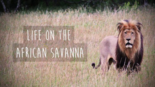 Élet az afrikai szavannán
